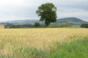 Lone oak at the edge of a wheat field