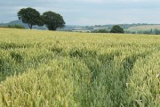 Wheat field near Merryhill Farm