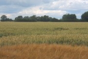 Barley field in front of wheat field