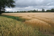 Ripening wheat and barley crops
