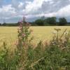 Colourful footpath margin beside wheat field