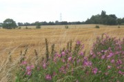 Great willow herb with golden fields behind