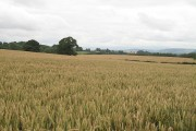 Wheat field, Stone Farm