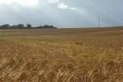Barley, Hannington