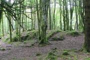 Grove of beeches, Ardcastle Wood