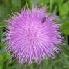 Spear thistle - Cirsium vulgare
