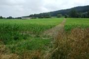 Footpath through the maize