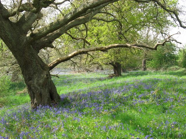 Butley Woods - bluebells