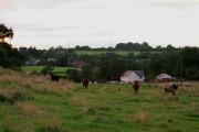 Evening Bullocks