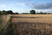 Wheat field near Stanton Chare