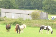 Horses by Cattle Manger