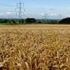 Weighton wheat