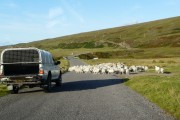 Sheep drive on the Shieldaig road