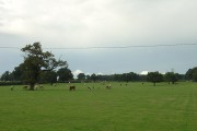 Cattle grazing near Locko Park