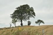Tree and field near Balintraid
