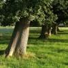 Line of oaks, Norbridge