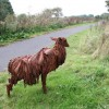 Lincolnshire Longwool