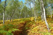 Birch wood at Dundreggan