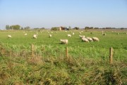 Sheep in field to the E of Grove Ferry Road