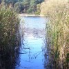 Reedy Frensham Little Pond
