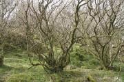 Hazel woods, Torr Mhuillin