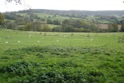 Grazing sheep, on Mortimers Farm