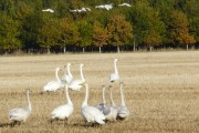 Whooper Swans arriving for breakfast at Balinroich