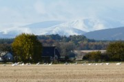 Whooper Swans at Balinroich