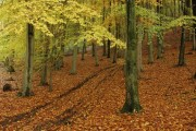 Beech trees in Woodchester Park