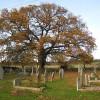Jubilee oak, Sutton St Michael