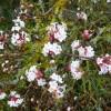 Viburnum × bodnantense in flower