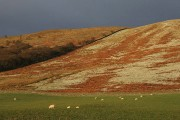 Grazing sheep in Ewesdale
