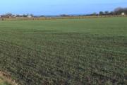 Winter barley by the sea near Seaton House