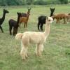 Alpacas near Horley