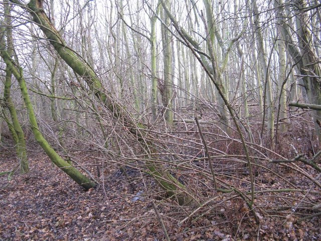 Young woodland at Blinkbonny