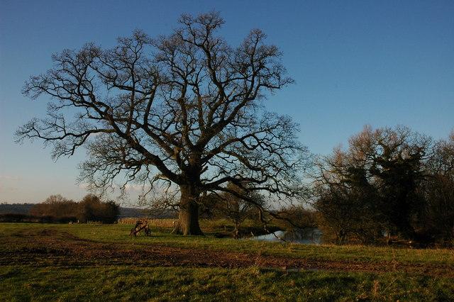 Oak tree at Hill Farm
