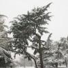 Cedar in Greenwich Park
