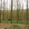 Young beech plantation at Bottom Wood