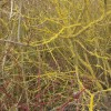 Dogwood bushes with red twigs and yellow lichen