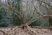 Dramatic dead wood in Burgate Hanger