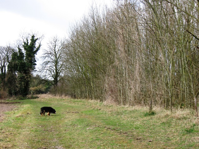 Footpath beside new small wood near Tring