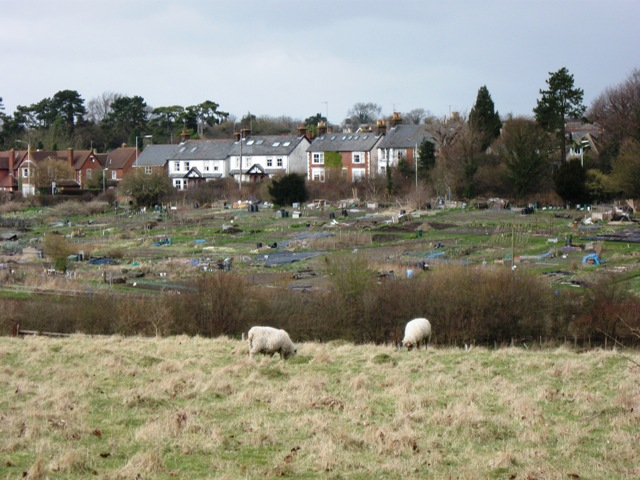 Sheep in Meadow, with Allotments beyond.