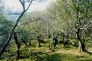 Birch woods and moss near Arnish