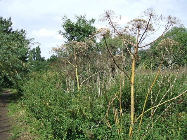 Giant hogweed, Riverside Walk, Warwick