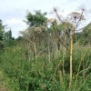 Giant hogweed, Riverside Walk, Warwick
