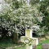 Hawthorn in bloom in Wilstone Cemetery