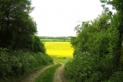 Rapeseed Farmland Between Elcot and Wickham Heath