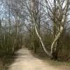 Birch-Lined Path