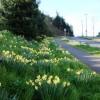 Daffodils, Dartmouth Road, Waterside