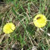 Coltsfoot at College Lake